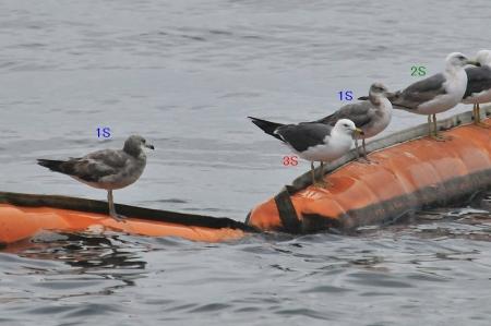 gulls-age