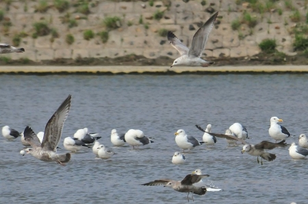 gulls-play