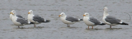 mongolian-gulls