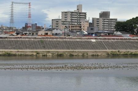 river-flock