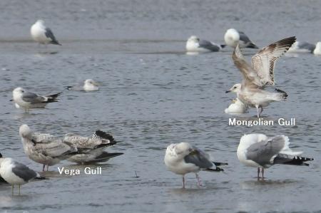 vega-mongolian