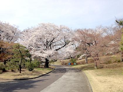 IMG_0200_2014-4-1-八柱霊園の桜