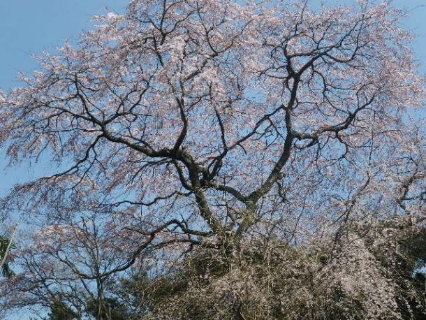 維新山の桜1403