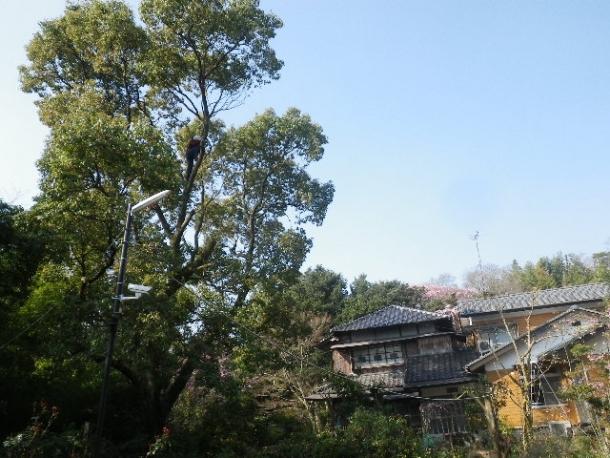 楠枝切り1403