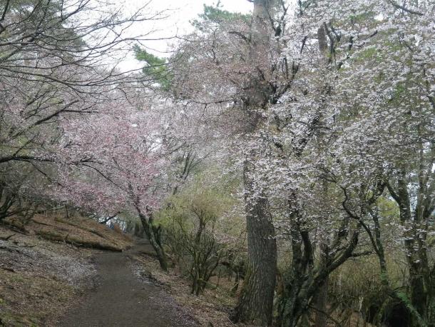 塔ノ岳桜140420