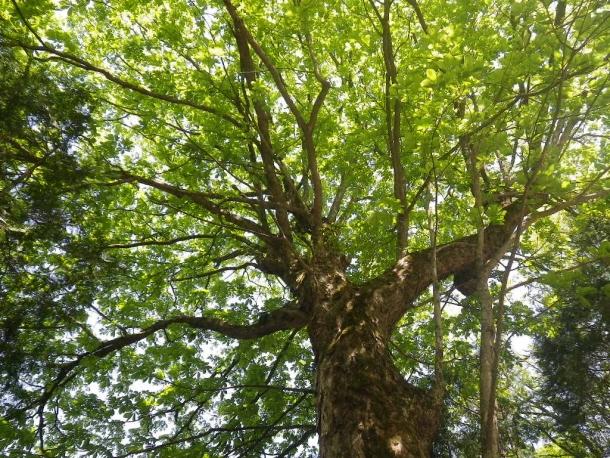トチの木140510