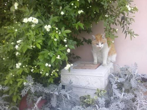 バラの木陰トラたん