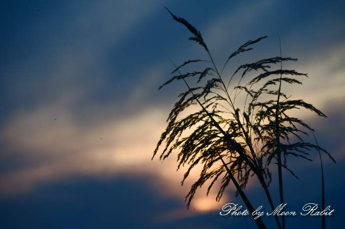 ヨシ 愛媛県西条市禎瑞 10月の植物