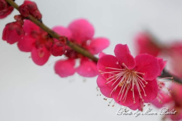 寒紅梅(カンコウバイ) 愛媛県西条市 市民の森