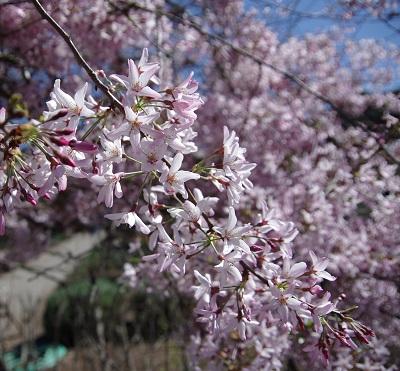 Filoli桜20140315