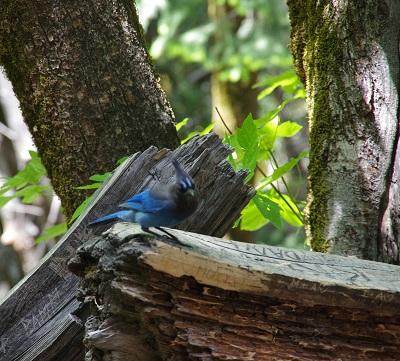 ヨセミテ青い鳥20140524