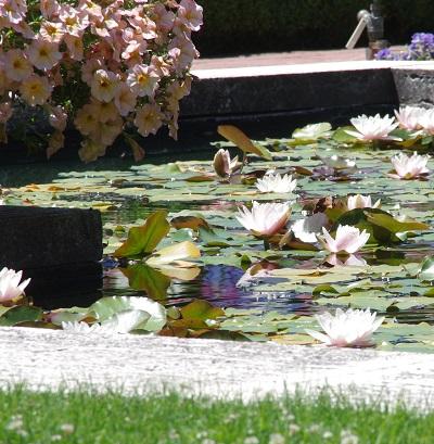 20140718池の睡蓮