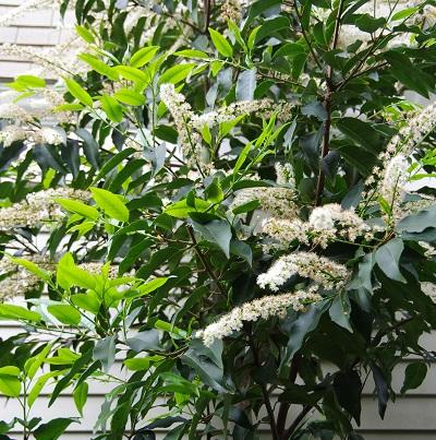 Prunuslusitanica20140425.jpg