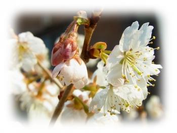 さくらんぼの花 綺麗に咲きました 写真 団地