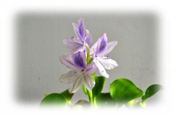 ホテイアオイ 花 写真