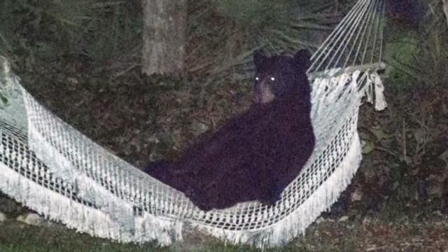 dnt-bear-in-a-hammock.jpg