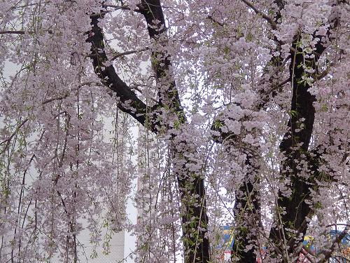 大きな枝垂れ桜