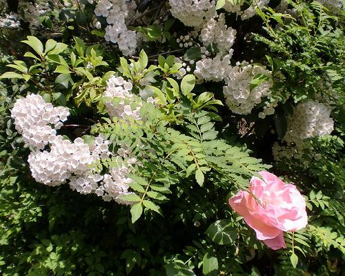 カルミアと四季薔薇