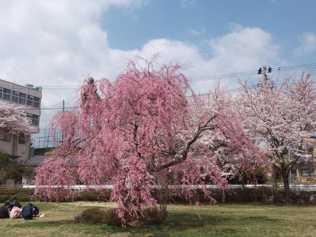 髙松公園の枝垂れ桜