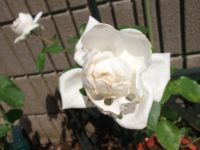 虫食いのバラ