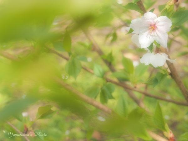 140401sakura2.jpg