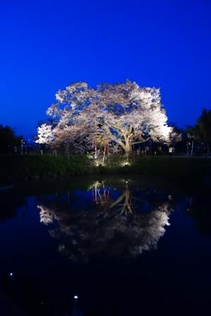 浅井の一本桜2014