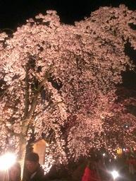 桜舞いちってぬ。