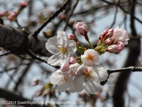 2014年 桜の季節