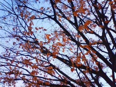 photo_kouyou_sibarikyuu_keyaki_2009_1207.jpg