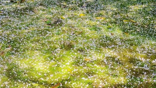 苔と桜の葉