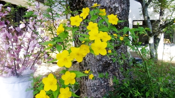 黄色ヤマブキ