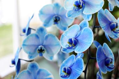 青い胡蝶蘭~ブルーエレガンス