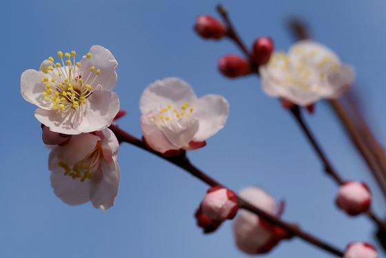 140302庭の梅