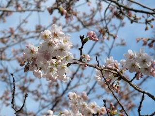 鋸南町・佐久間ダム湖の桜