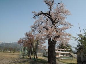 4月27日校庭桜