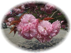 4月27日桜