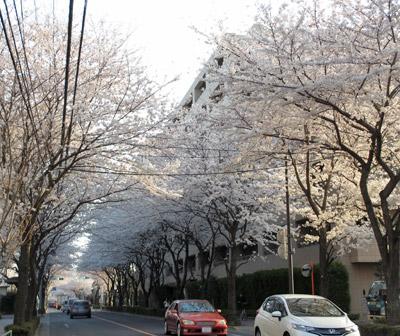 三鷹通りの桜