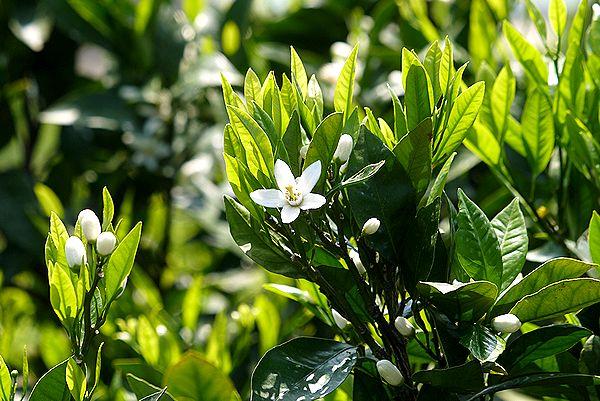 みかんの花3