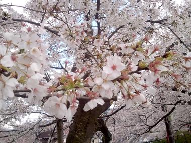 桜の花の 咲くころ~おぉに♪