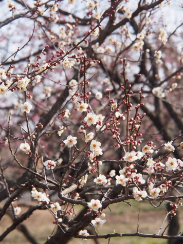 偕楽園の梅