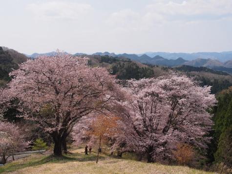 沓掛峠のヤマザクラ
