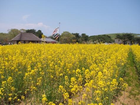 菜の花(ひたち海浜公園)