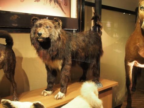 カラフト犬 ジロ 【国立科学博物館】