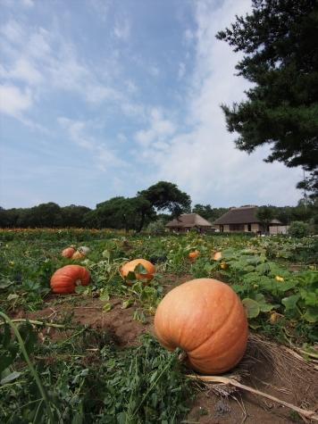 かぼちゃ【ひたち海浜公園】