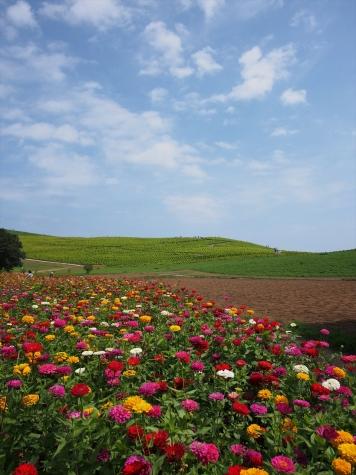 ジニア(百日草)【ひたち海浜公園】
