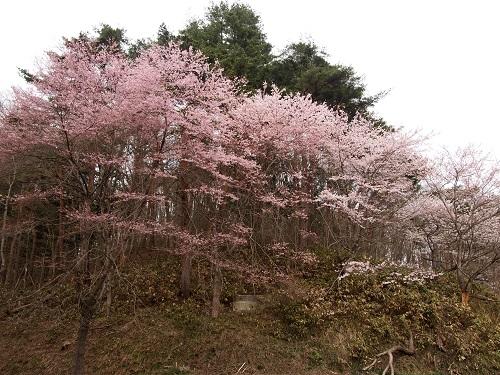 ooyamazakura14428.jpg