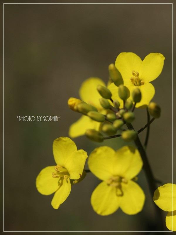 菜の花開花