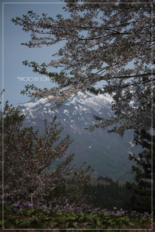 残雪の山、桜、カタクリ