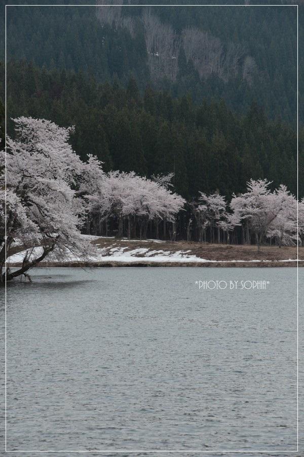 中子の桜2014-2