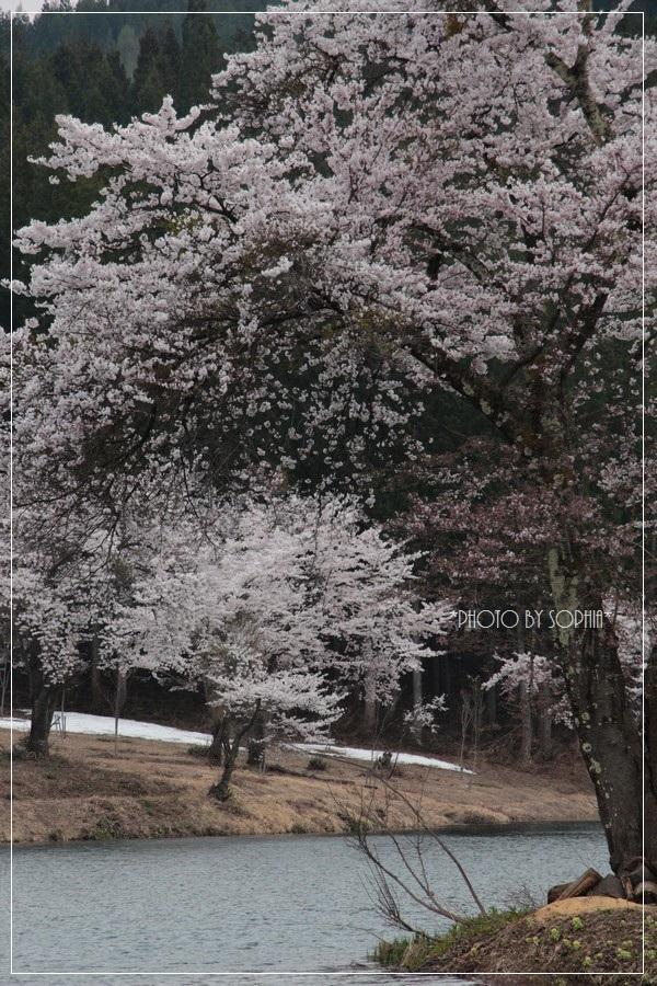 中子の桜2014